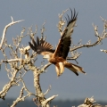 red-kite-over-ach-nan-each-21-fc88862a08d025d1a7a7e4b8acb331f1a918465a