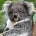 young-koala-7fa7bcb918bb83a830d4a44f70434cfb45f4014a