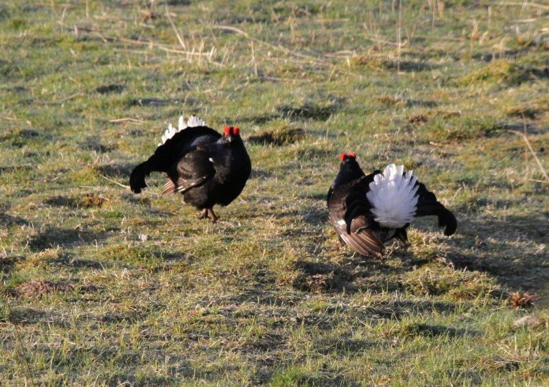 black-grouse-on-black-grouse-safari-corimony-rspb-reserve-27-4-2012-10-0b875c8d213b545b6c154c03a7de327b6b38cb63