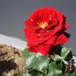 rose-1-f8ffd4d281865d7275f438513ed9c1756ca5b2c9