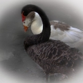 swan-goose-24891abfef63543d1595371e622f021aea2dee39