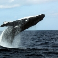 whale-watching-day-229-copy1-ac60a298617880d17b268772dc5d40c37b530423