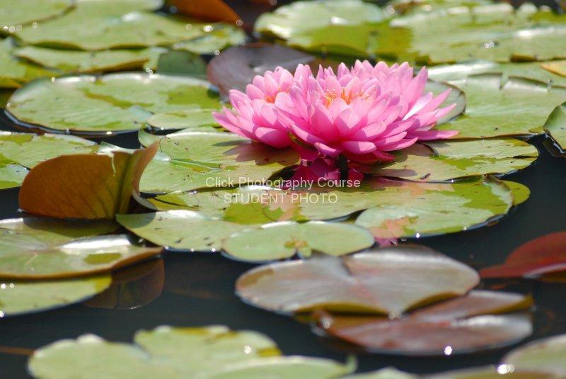 water-lily-b216d41e2473b50793ffa951fa33e3bb611ac0b1